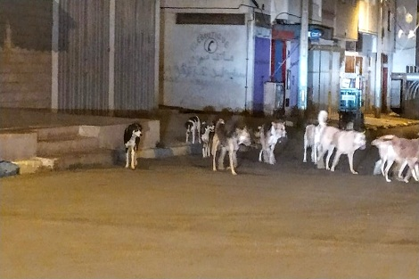 في ظل حالة الطوارئ الصحية.. تزايد عدد الكلاب الضالة بمدينة سطات يسائل الجهات المختصة